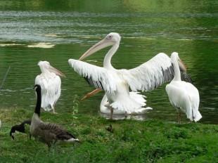 Пеликаны в Парке Святого Джеймса