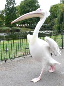 Pelican-thumb-338x450