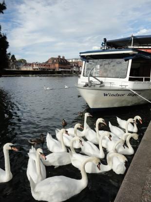 Ежегодная перепись лебедей на Темзе: как и для чего пересчитывают королевских птиц